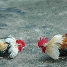 Tata Cara Yang Benar Bermain Judi Sabung Ayam Online
