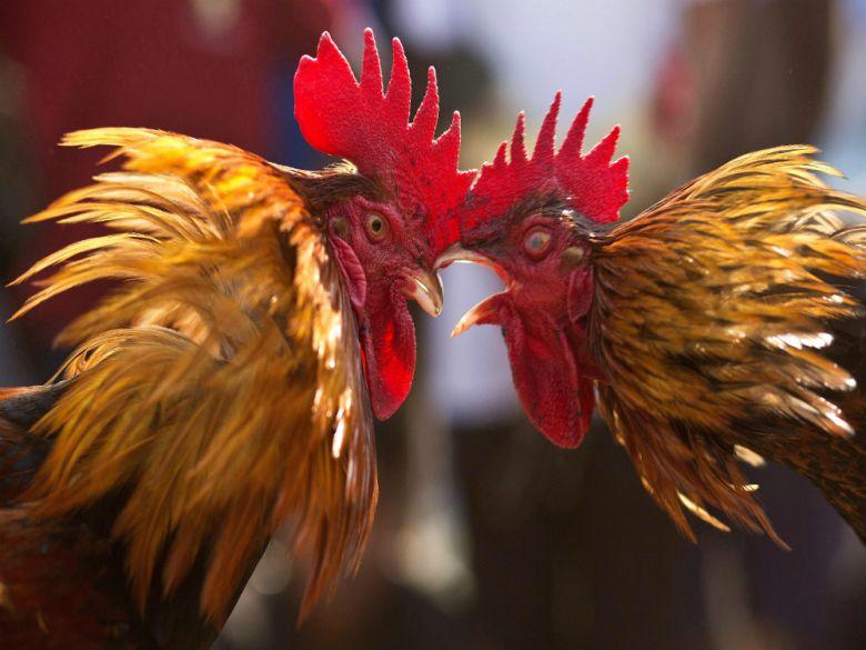 Macam-macam Tips Judi Sabung Ayam di Situs S128